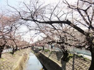 山崎川さくら1 (2)